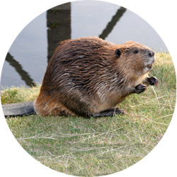 castor-rond