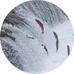 poissons-migrateurs