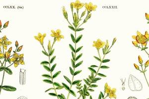 Millepertuis-feuilles-lineaires