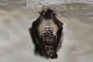 Vespertilion-à-oreilles-échancrées-Wikipedia